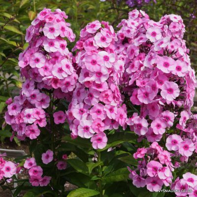 Phlox-'Fondant-Fancy'-1
