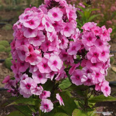 Phlox-'Fondant-Fancy'-3-1