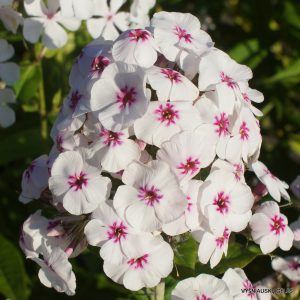 Phlox-'Mike%u2019s-Favourite'-1