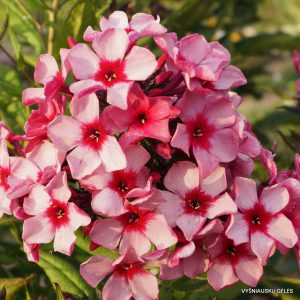 Phlox-'Red-Carribean'-1