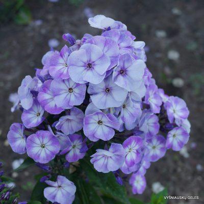 Phlox-'Younique-Old-Blue'