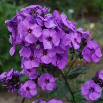 Phlox-'Younique-Old-Purple'-1
