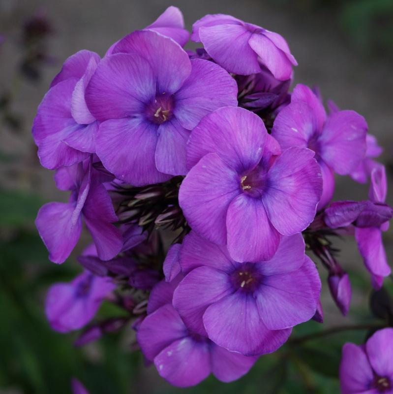Phlox-'Younique-Old-Purple'-5-1