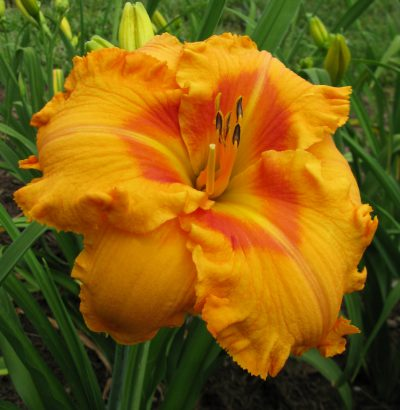 Viendienės 'Fay's Fancy Bloomers'