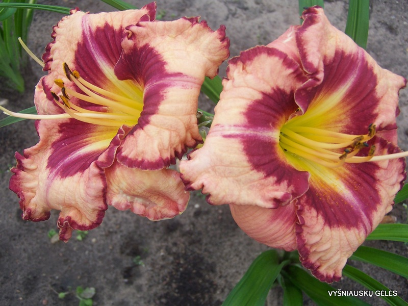 daylily-Believe-in-Miracles-2