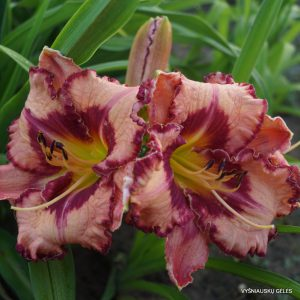 daylily-Believe-in-Miracles