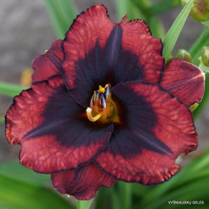 daylily-Broadway-Last-Mohican-1