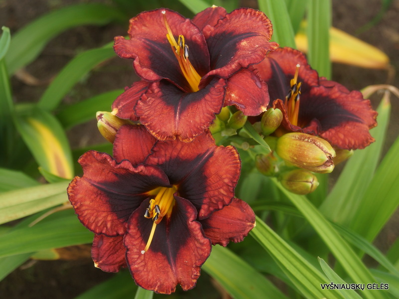 daylily-Broadway-Last-Mohican-3