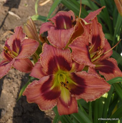 daylily-Carnival-in-Mexico