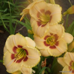 daylily-Custard-Candy