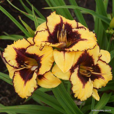 daylily-Goldenzelle