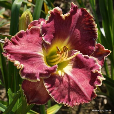 daylily-Heartbeat-of-Heaven-4