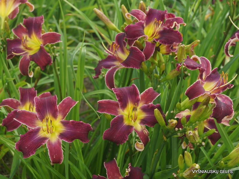 daylily-Increased-Complexity-1