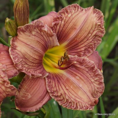 daylily-Mapping-Carolina-3