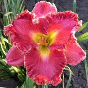 daylily-Nicole's-American-Beauty-1