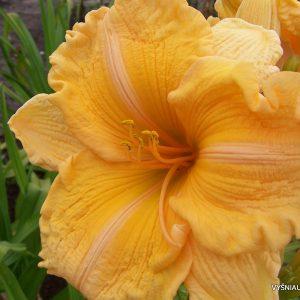 daylily-Orange-Velvet-2