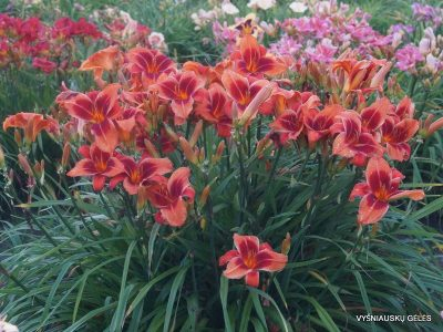 daylily-Outrageous-1