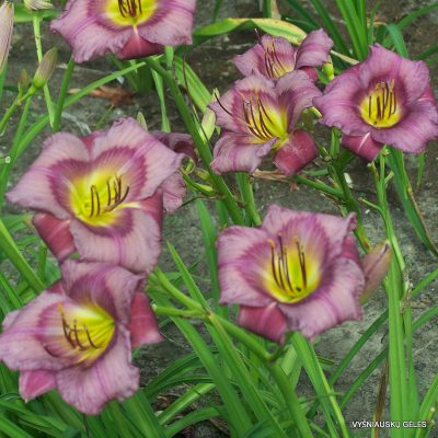 daylily-Priscilla's-Dream