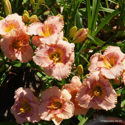 daylily-Raspberry-Winter-1