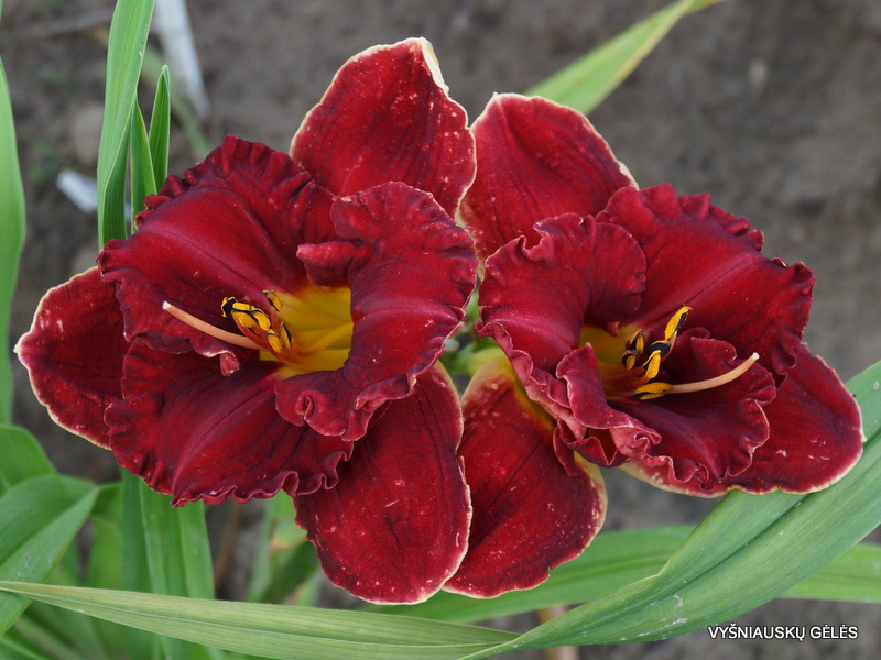 daylily-red-corvette-2