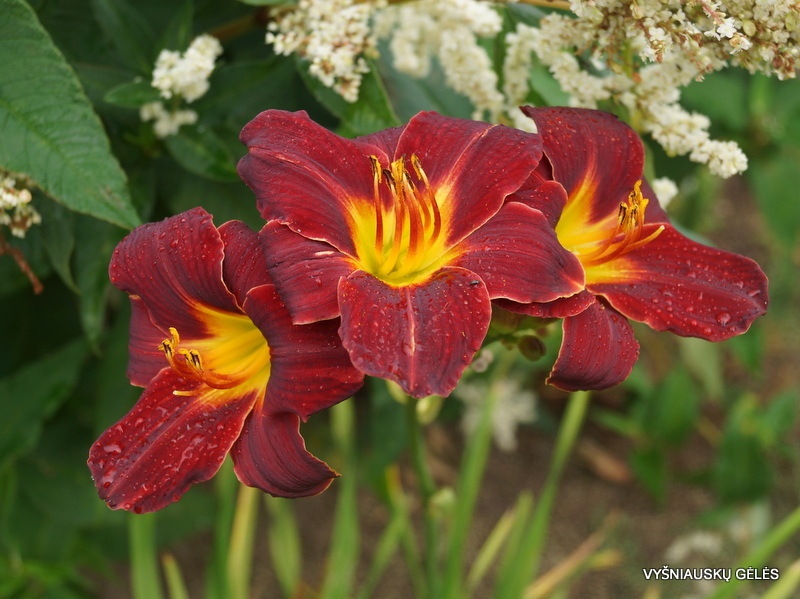 daylily-Tang-3