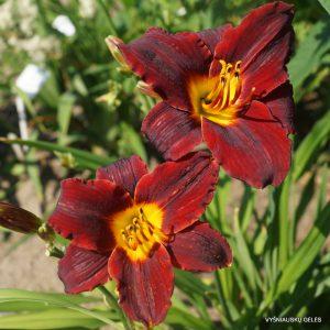 daylily-Tang