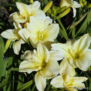 daylily-White-Dream