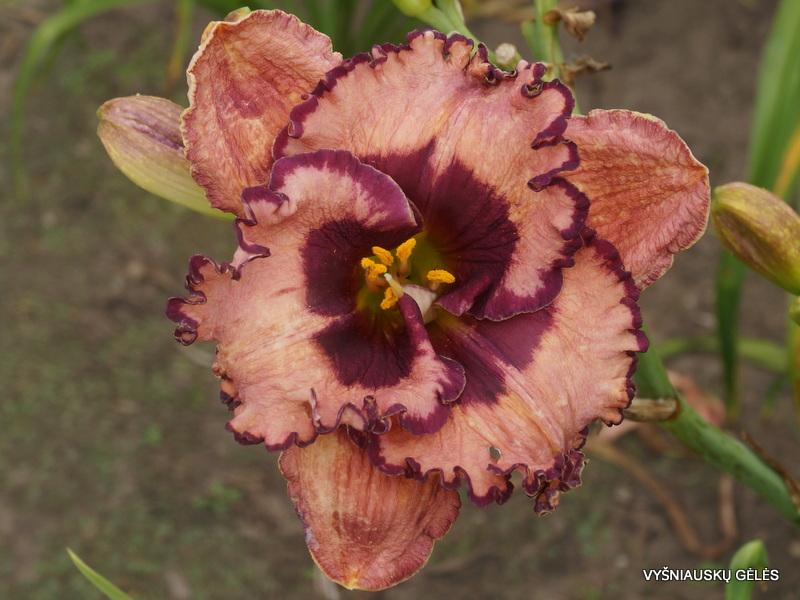 daylily-Zahadoom