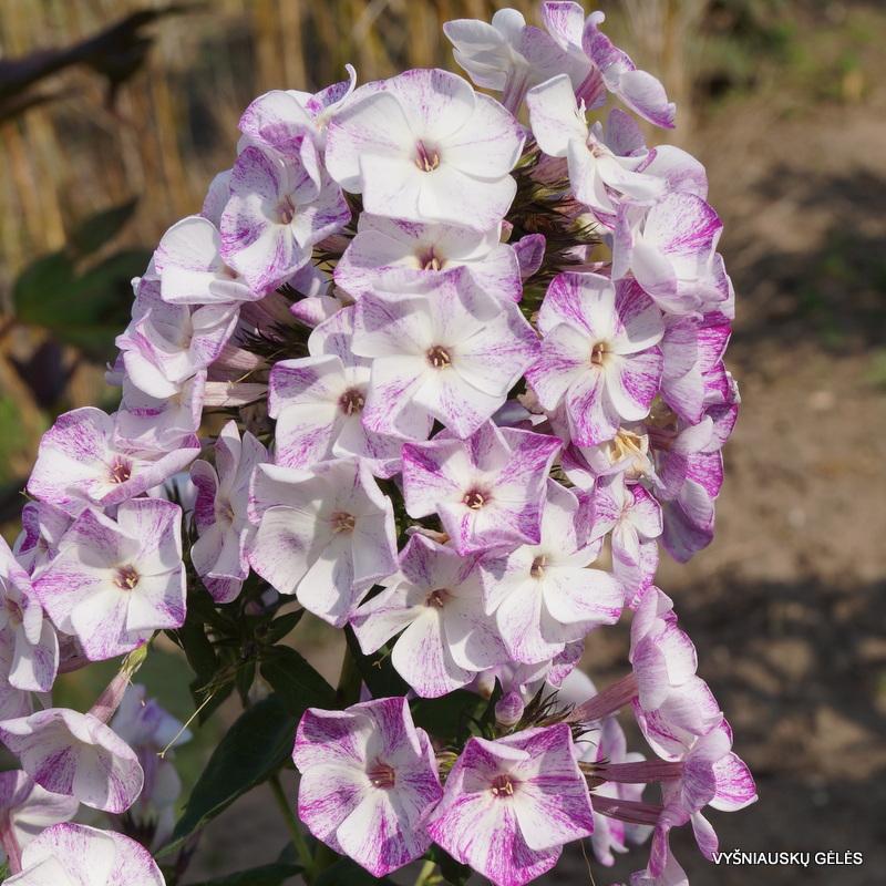 flioksai-freckle-purple-shades-2