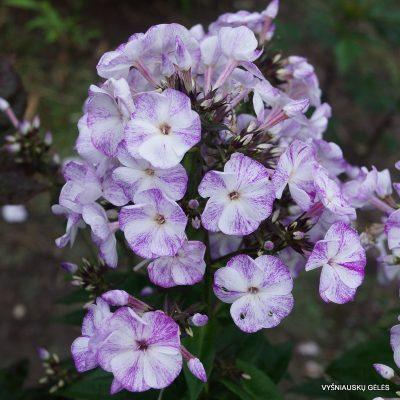flioksai-freckle-purple-shades