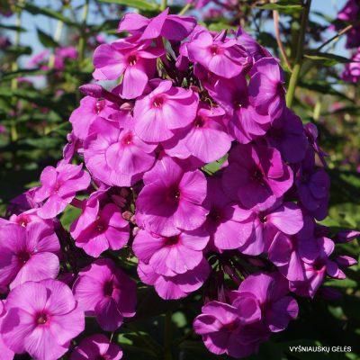 flioksai 'Younique Old Purple' (2)