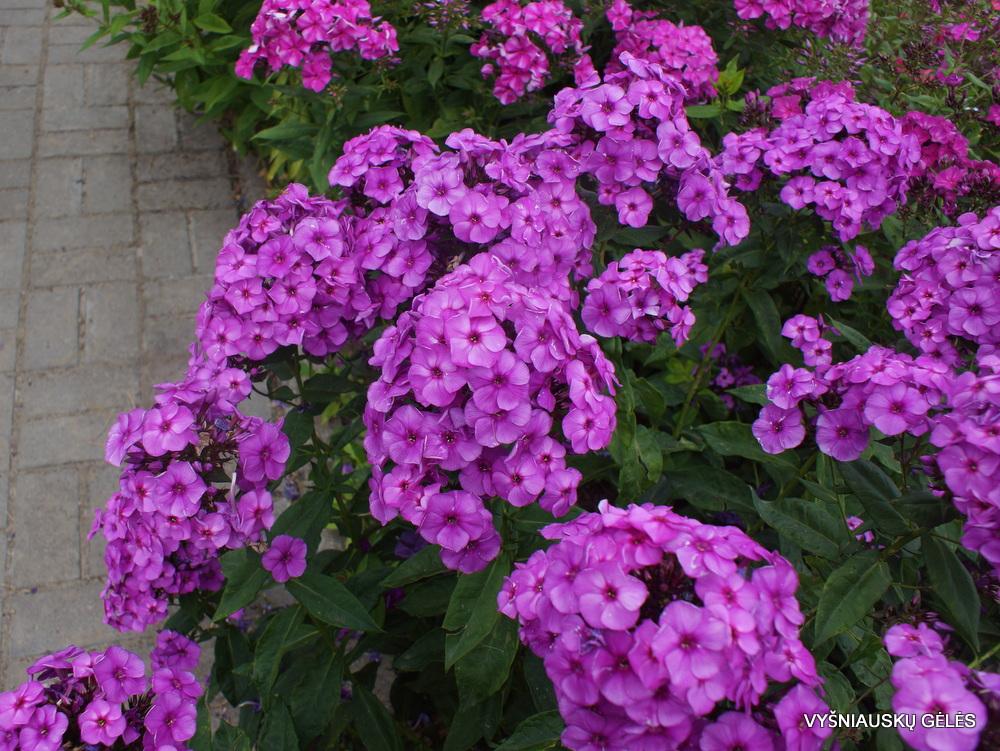 flioksai 'Younique Old Purple' (3)