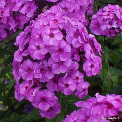 flioksai 'Younique Old Purple'