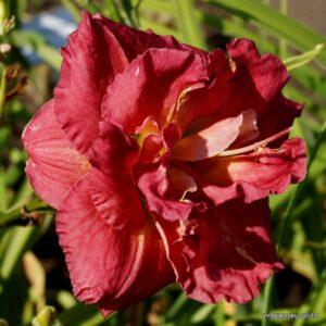 viendienė 'Rose Storm'