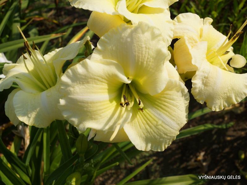 viendienes-flutter-of-angels-3