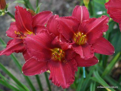 viendienės 'Her Best Bloomers'