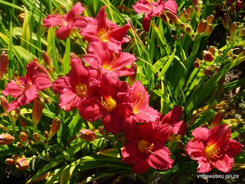 viendienės 'Her Best Bloomers' (2)