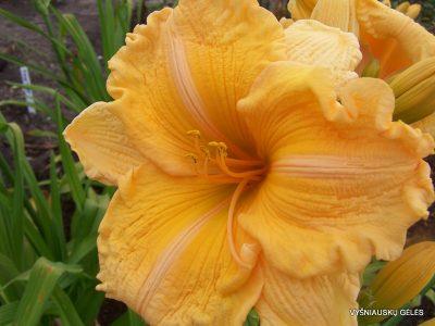viendienės-Orange-Velvet (2)