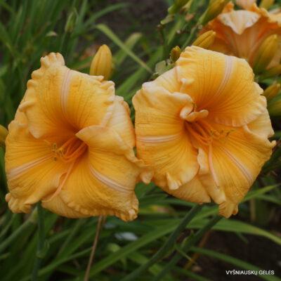 viendienės 'Orange Velvet' (2)