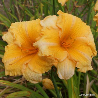 viendienės-Orange-Velvet