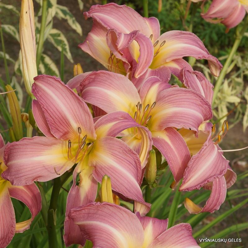 viendienes-orchid-corsage