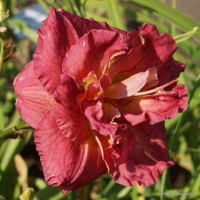 viendienes-rose-storm