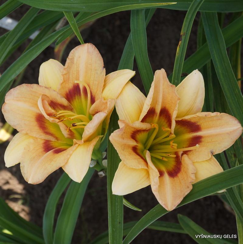 viendienes-too-many-petals