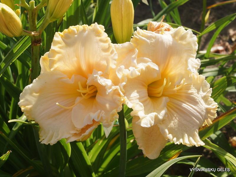 viendienes-victorian-lace