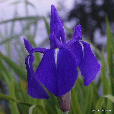 Glotnusis vilkdalgis 'Weymouth Blue'