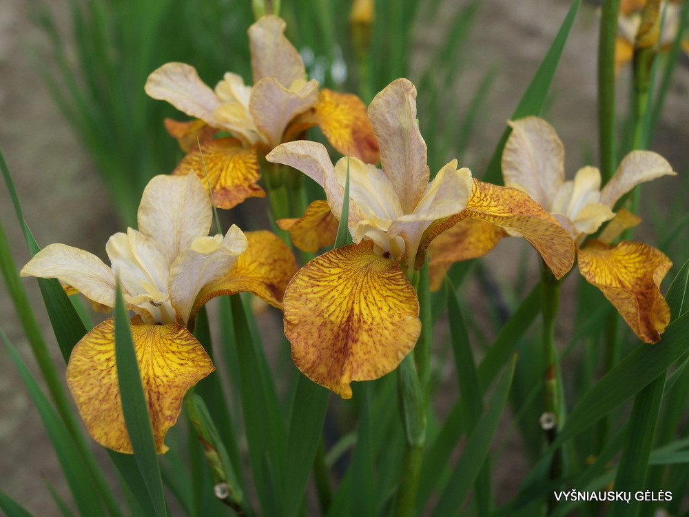 Iris 'Ginger Twist' (4)
