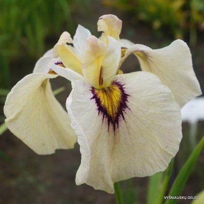 Iris-Okagami