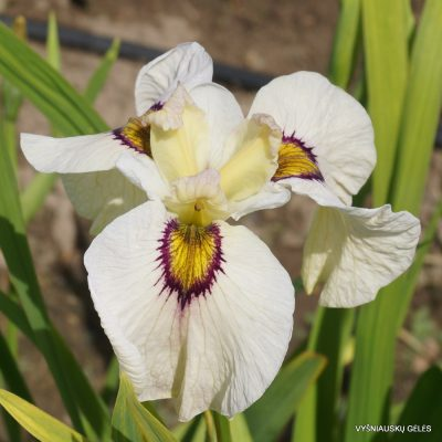 Iris 'Okagami'