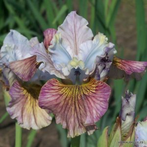 iris-sibirica-painted-woman