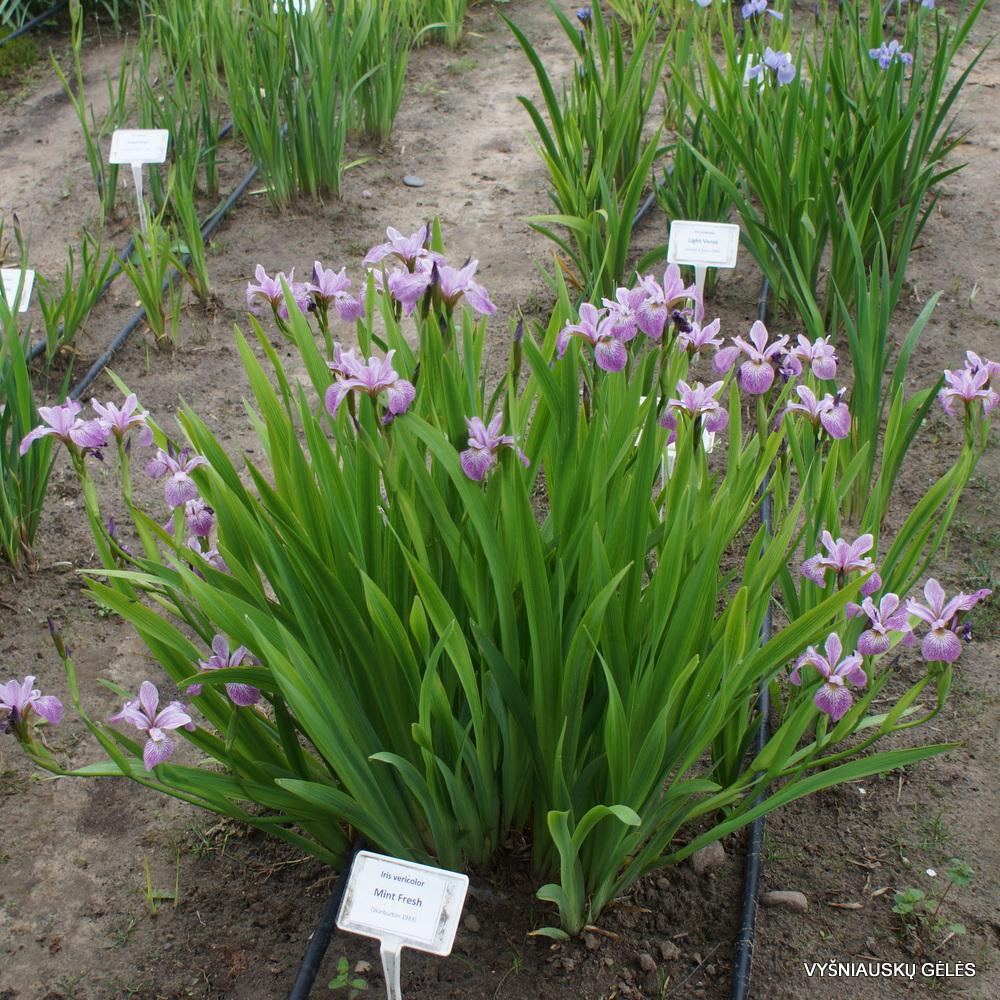 Iris versicolor 'Mint Fresh'